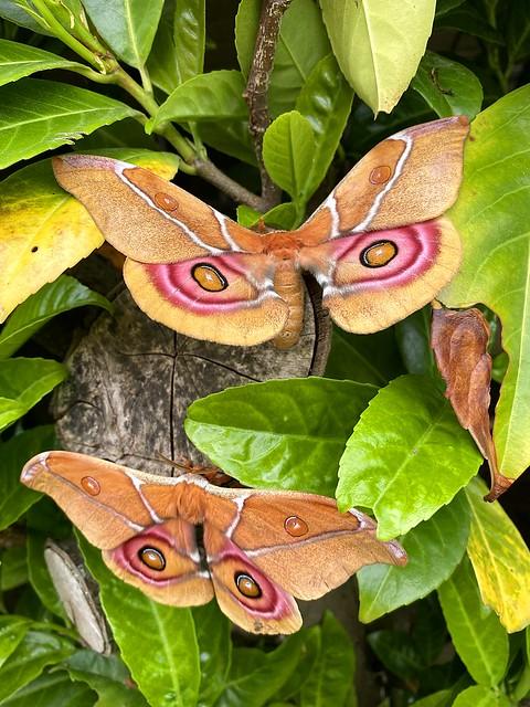 Madagascan Bullseye Moths