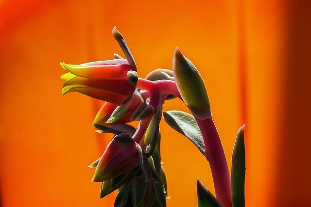 Cactus flower - Flor de cato