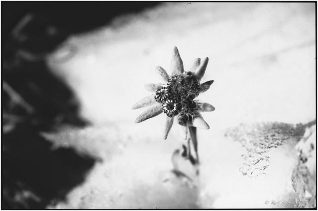 Edelweiss_1991_Leica R5