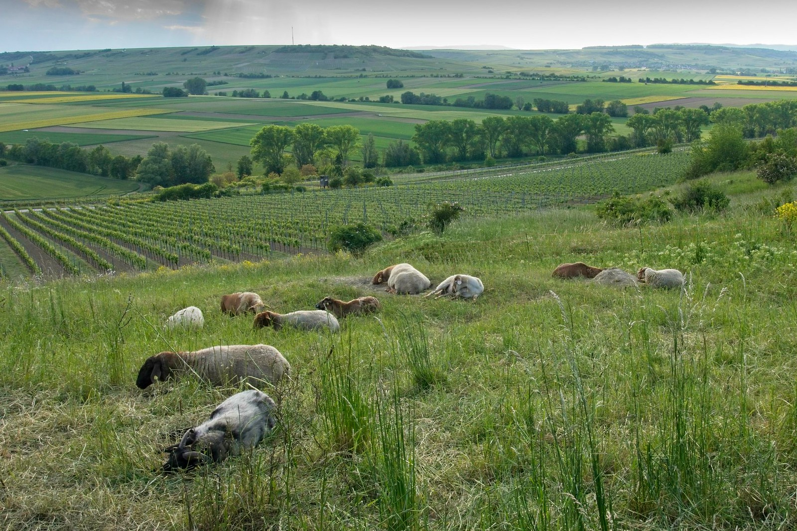 Schafe unterhalb vom Pavillon auf der Hiwweltour Stadecker Warte