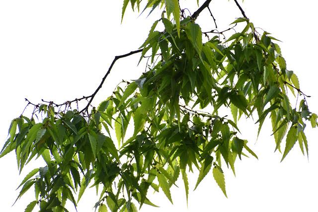fertile twigs, zelkova