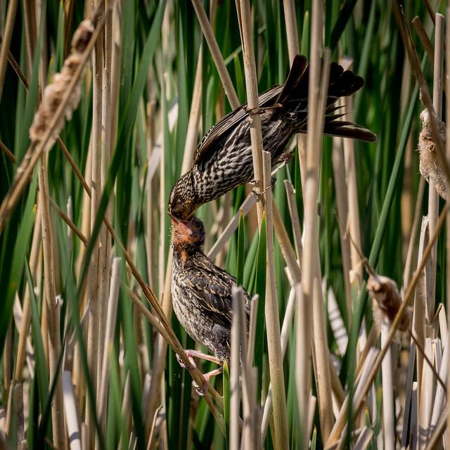 Red-winged Feeding-0914
