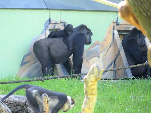 Gorillas Zoo Frankfurt