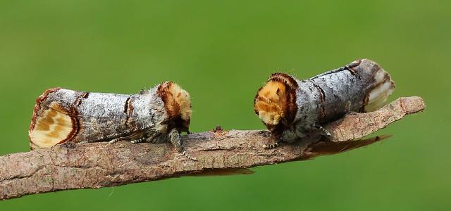 Buff Tip -  Phalera bucephala 070621 (5)