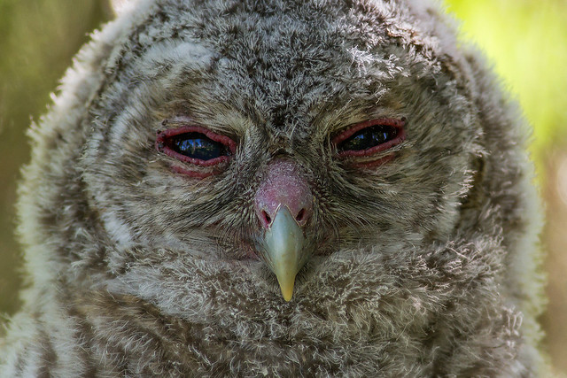 Tawny Owl juv.