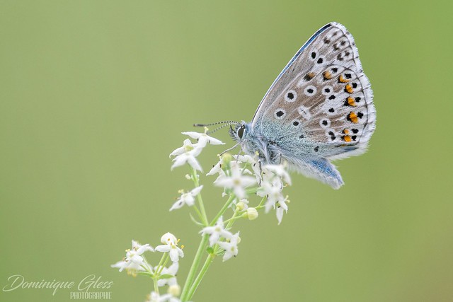 Azuré bleu céleste - Adonis blue
