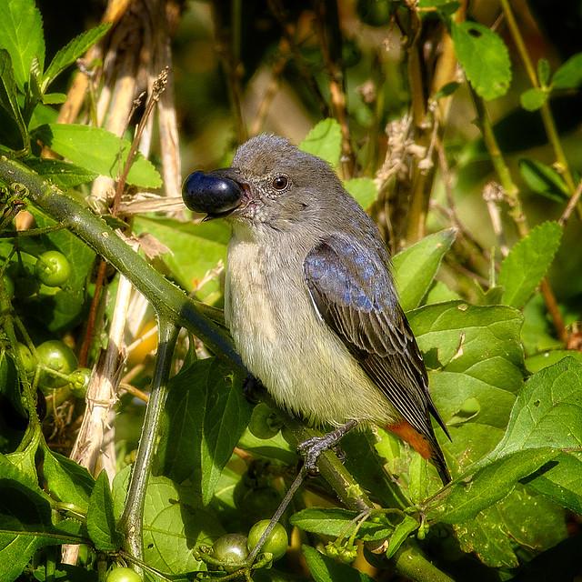 small bird series: ♀ mistletoebird