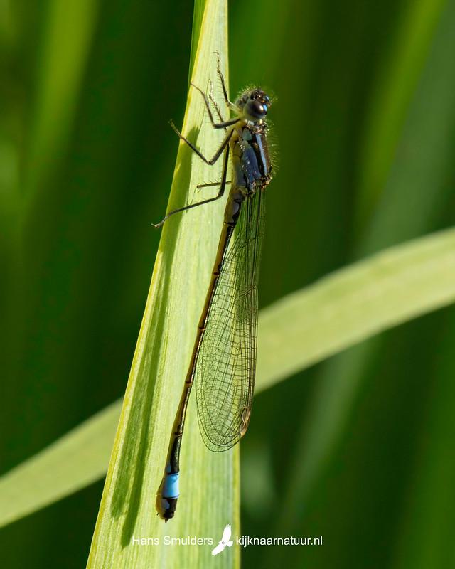 lantaarntje (Ischnura elegans)-850_3454