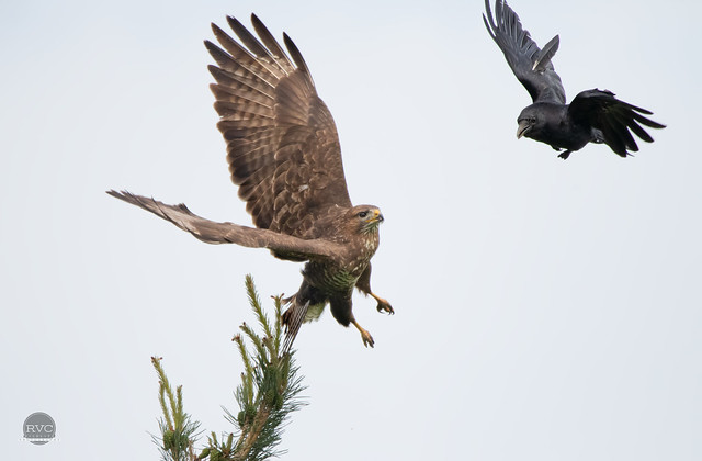 Buzzard and Raven Fighting