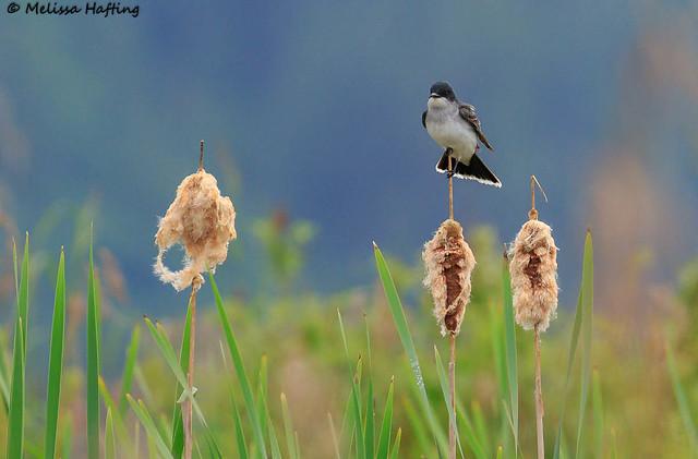 Eastern Kingbird (Tyrannus tyrannus) - Pitt Meadows, BC