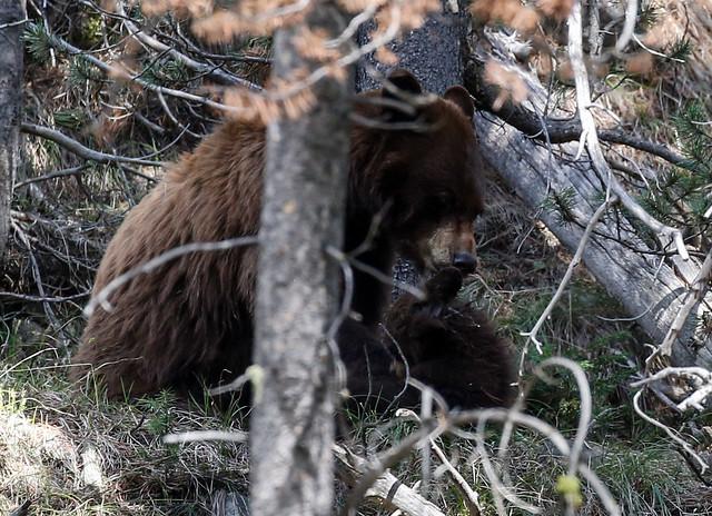 bear-9101
