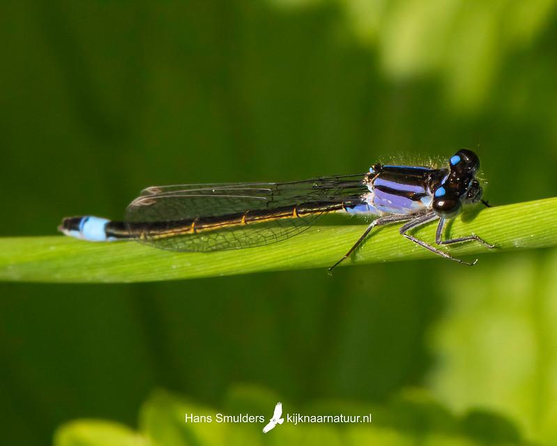 lantaarntje (Ischnura elegans)-850_3460