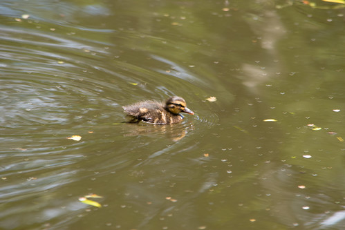 Lone duckling, recently hatched, Compton