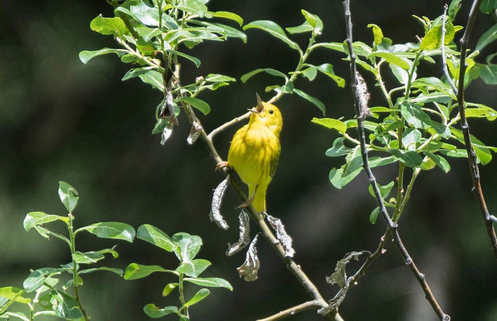 Yellow warbler 3 (1 of 1)