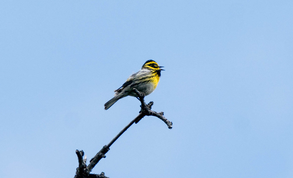 Townsend's Warbler (1 of 1)