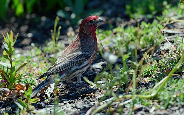 Loner - unusual to see male House finch alone on the ground