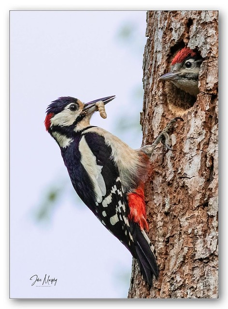 Great Spotted Woodpecker brings insects and grubs for his chick.Still a bit of a scarce bird here in Ireland.
