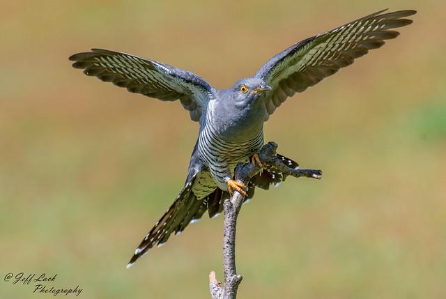 DSC3655  Cuckoo....