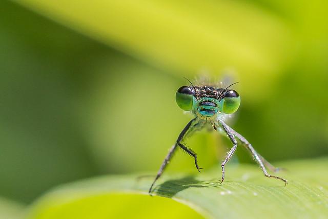 Een juffertje - Zygoptera