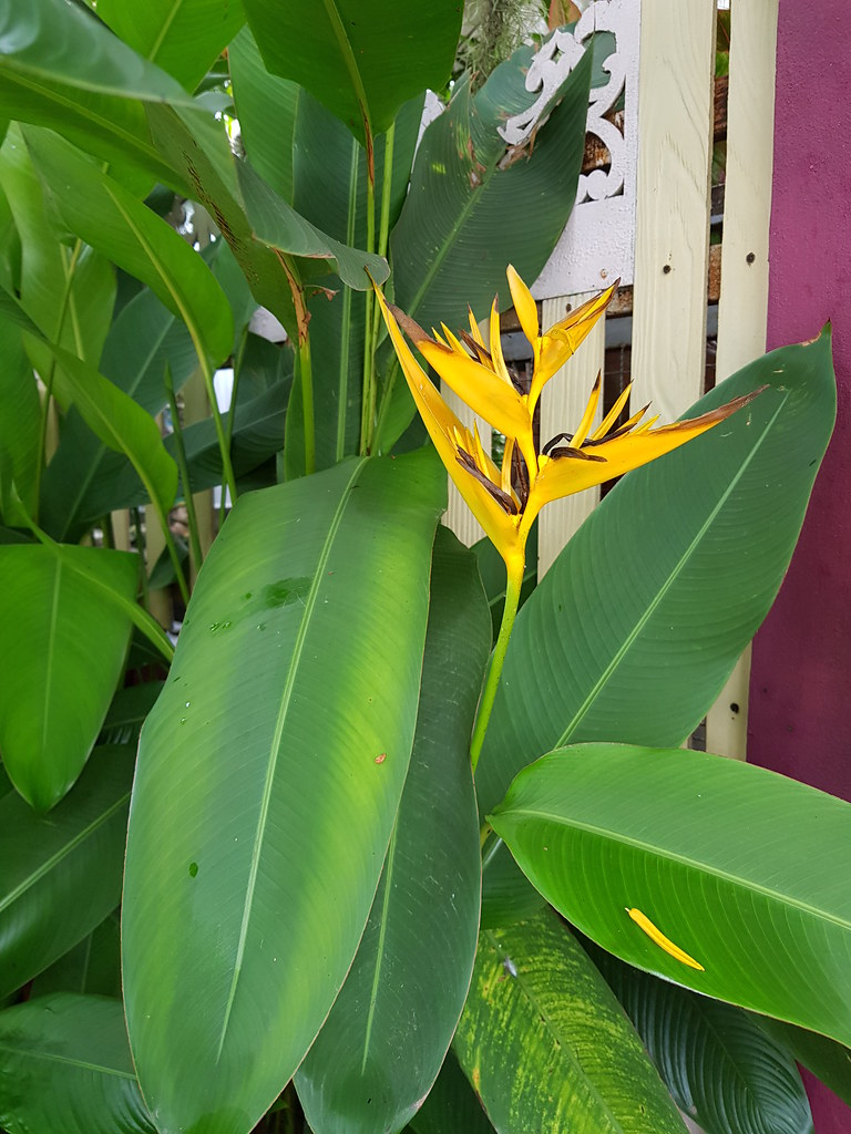 Heliconia psittacorum L.f. Heliconiaceae - Parrot's Beak, พุทธรักษาญี่ปุ่น 3