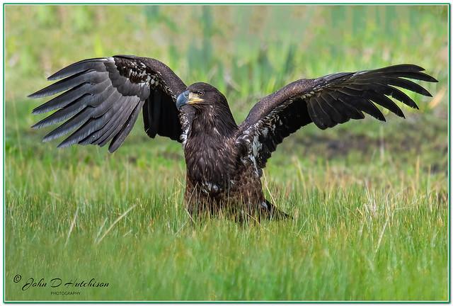 American Bald Eagle ( Juvi )