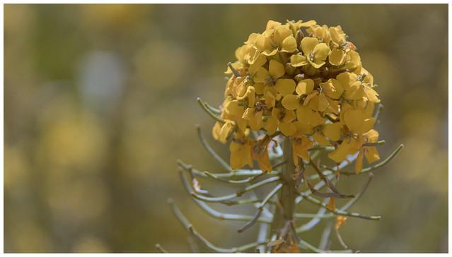 Yellow Erysimum