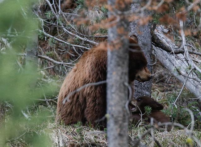 bear-9105