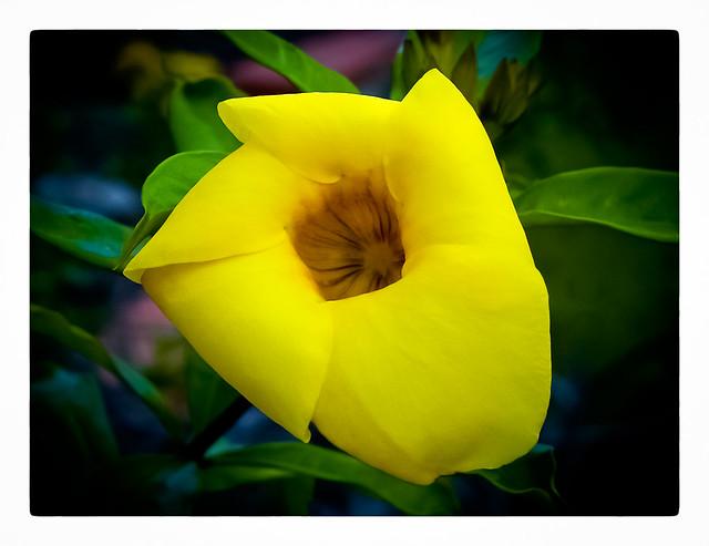 Flor de Canario (Allamanda)