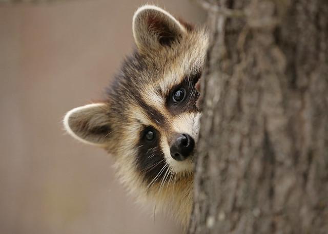 Young Raccoon...#35