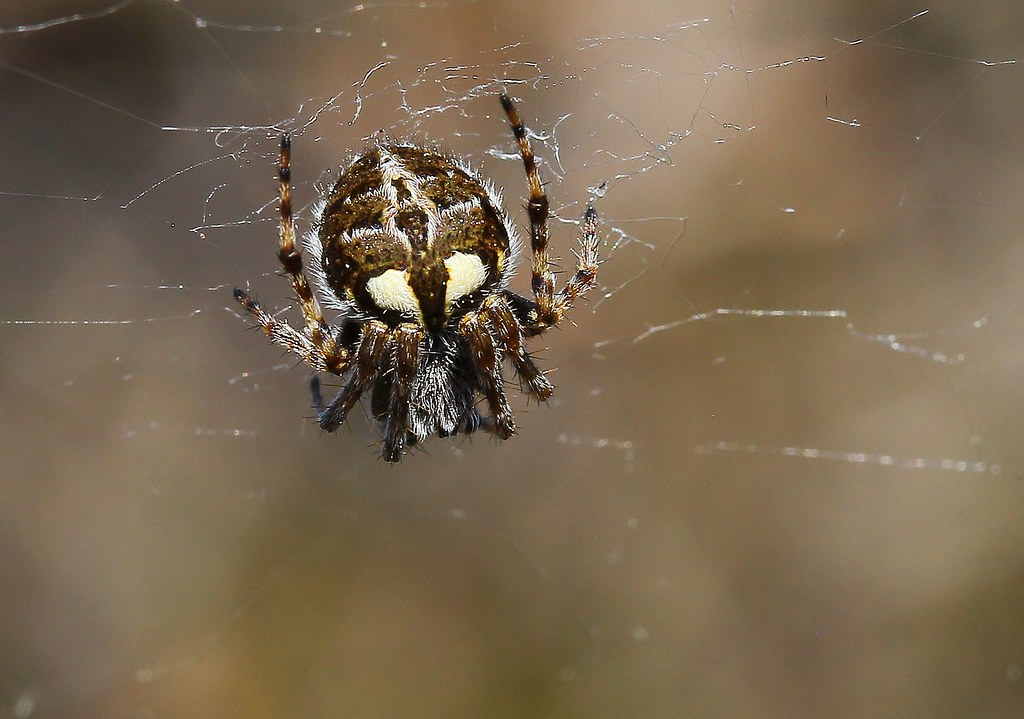 Garden Cross Spider 310521 (1)
