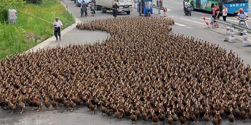 100.000 anatre vengono addestrate in Cina contro l'invasione delle locuste