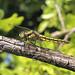 Black tailed skimmer_0881