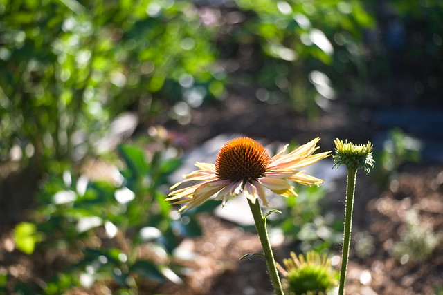 Echinacea From Our Garden