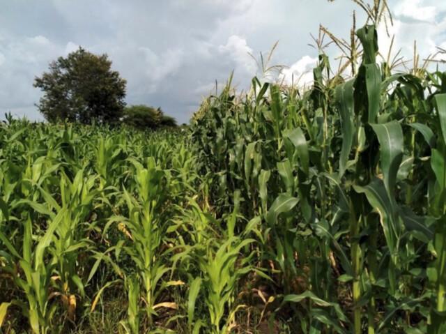Blooming farmer field following application of Minjingu fertilizer (right) adjacent a field with no fertilizer applied (left) in Gallapo village, Babati. NB: Both fields were planted the same day. Credit: Michael Kinyua/Alliance Bioversity - CIAT.