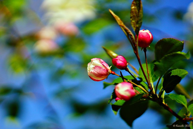 Blossom - Flowering Crabapple Tree