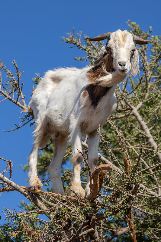 Argan Tree Goat