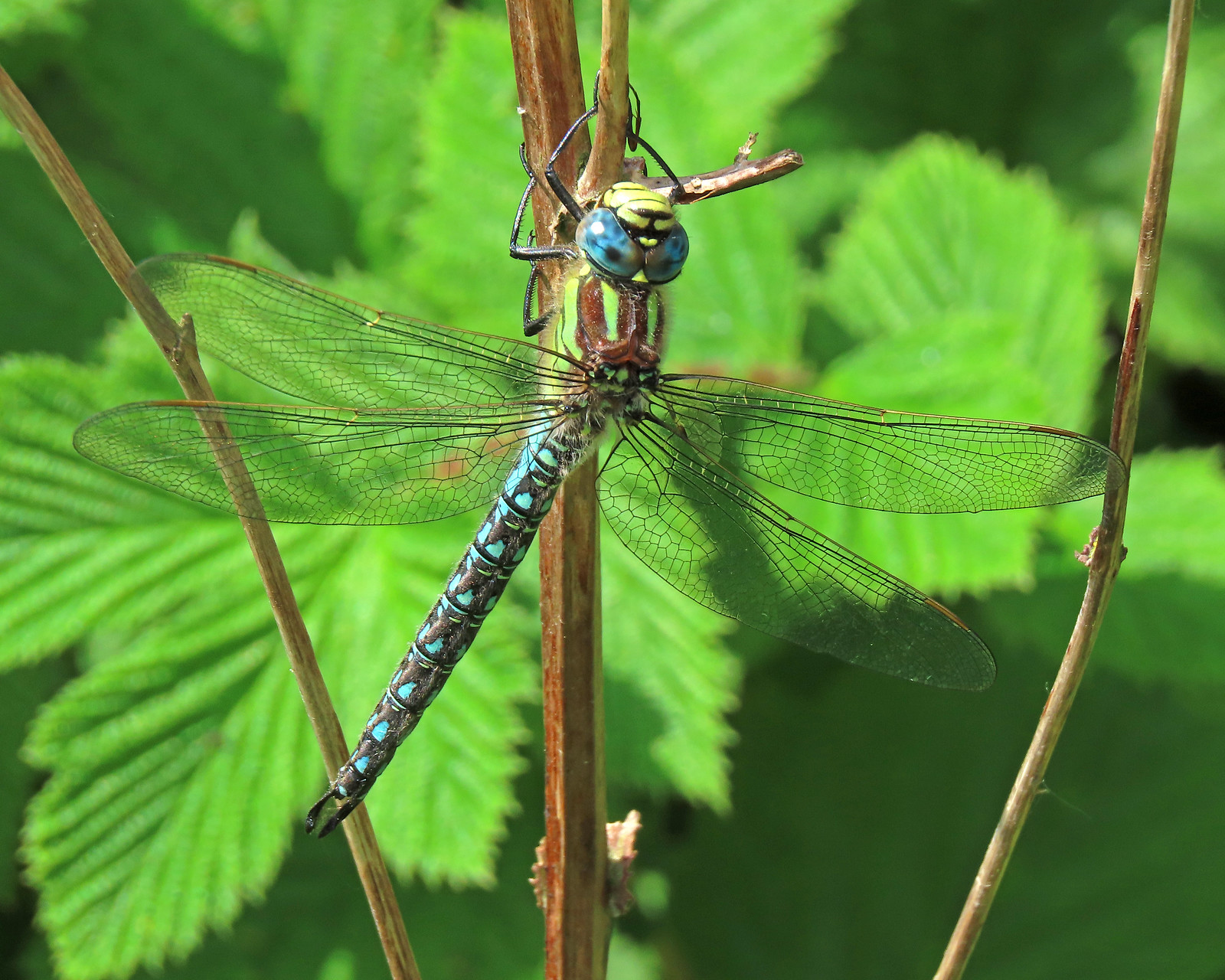 Hairy Dragonfly - Brachytron pratense