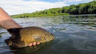 Photo of a smallmouth bass about to be released back into the water