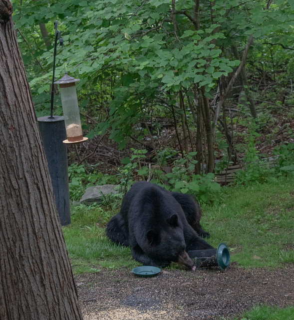 another view of the black bear