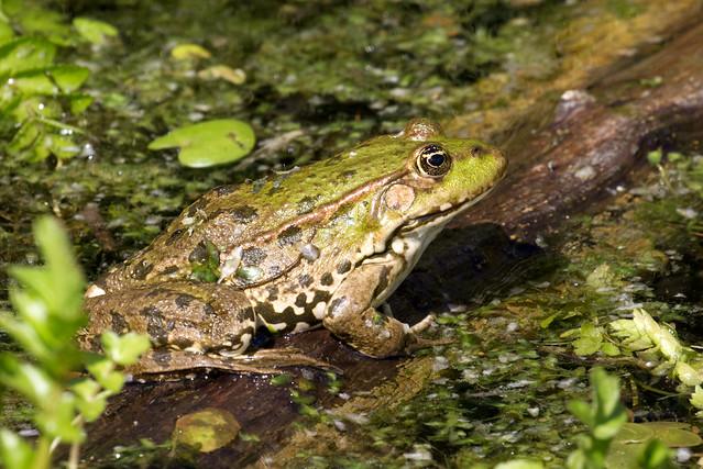 Marsh Frog - Pelophylax ridibundus