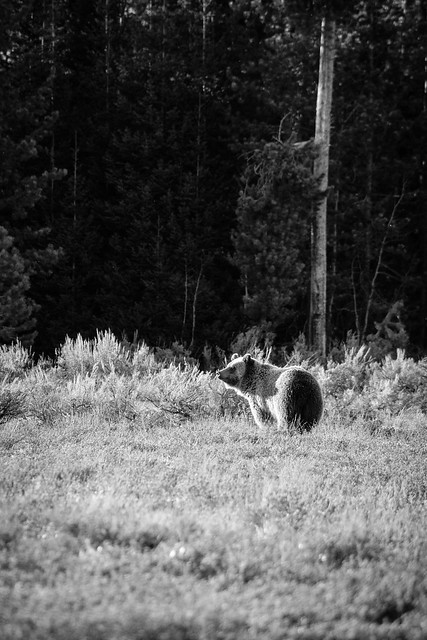 Grizzly, Grand Teton National Park. May, 2021.