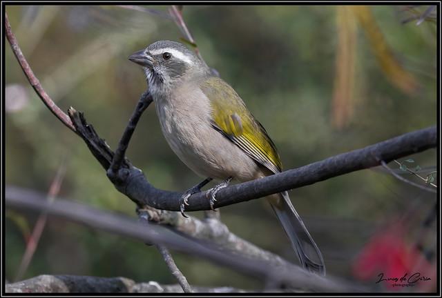 Pepitero Verdoso, Green-winged Saltator (Saltator similis)