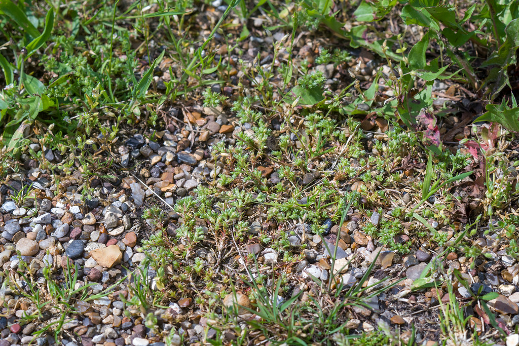 Scleranthus * polycarpos