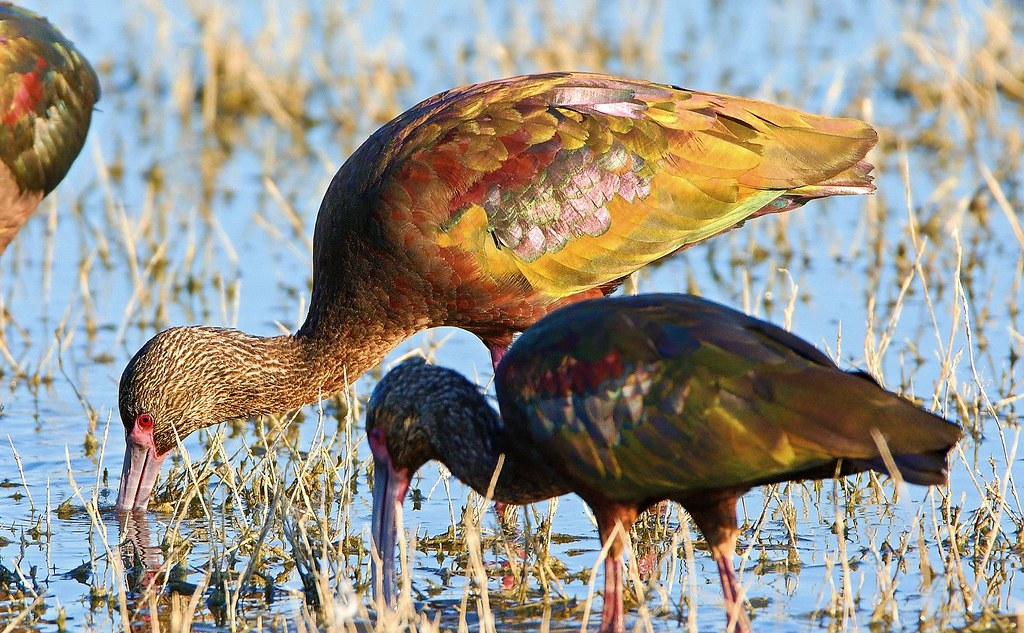 White-faced Ibis Late Afternoon Feeding