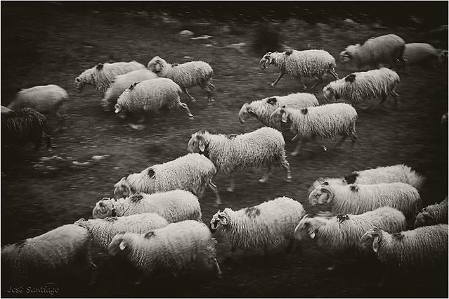 El rebaño (II) - The herd (II)