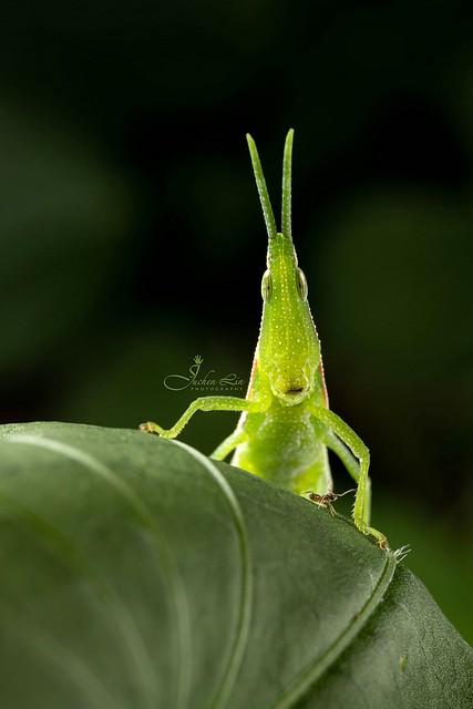 紅后負蝗 Atractomorpha sinensis
