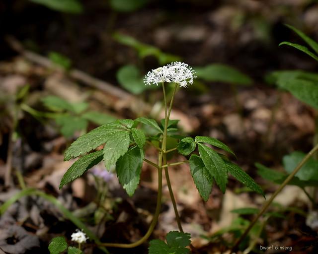Dwarf Ginseng  - Panax trifolius   -  Araliaceae: Ginseng Family