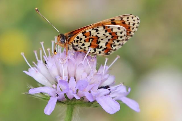 Butterfly - Melitaea didyma - Roter Scheckenfalter