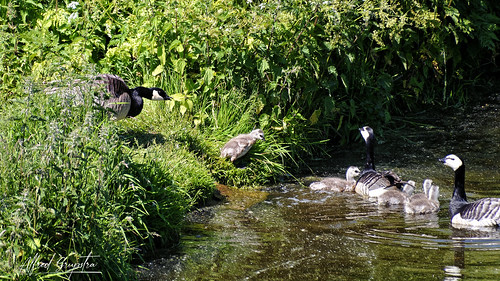 """""""Get Home Where You Belong"""" The Fascist Goose Yelled."""