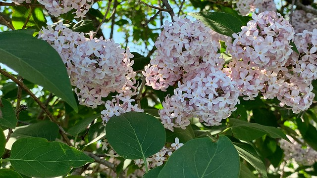 Beautiful lilac flowers on a tree in Port Hope , Martin's photographs , Port Hope , Ontario , Canada , May 23. 2021